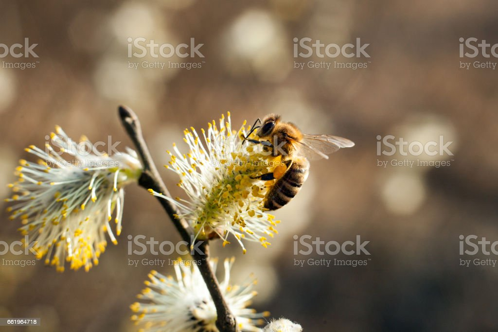 The bee collects pollen on the flowering tree. Bee on catkins. Yellow pollen on twigs and on bee. royalty-free stock photo
