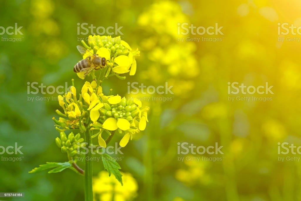 die Biene sammelt den Nektar auf den Senf Blumen im Feld - Lizenzfrei Agrarbetrieb Stock-Foto