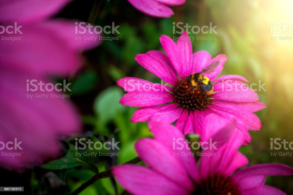 The bee is finding food from pink flowers stock photo