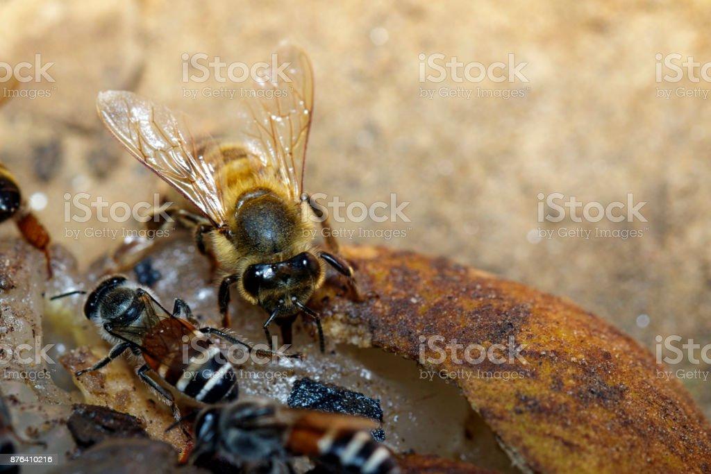 La abeja es chupar el néctar dulce de la longan en el suelo. - foto de stock