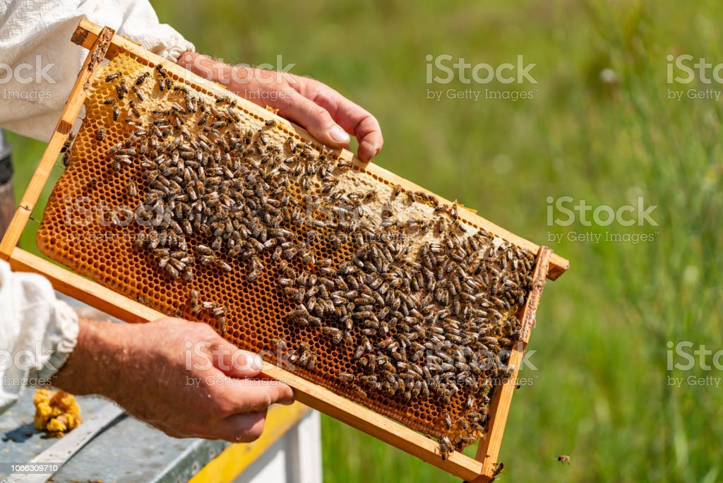 The beekeeper examines the frames with honey. Beekeeper holding frame of honeycomb with working bees outdoor. stock photo