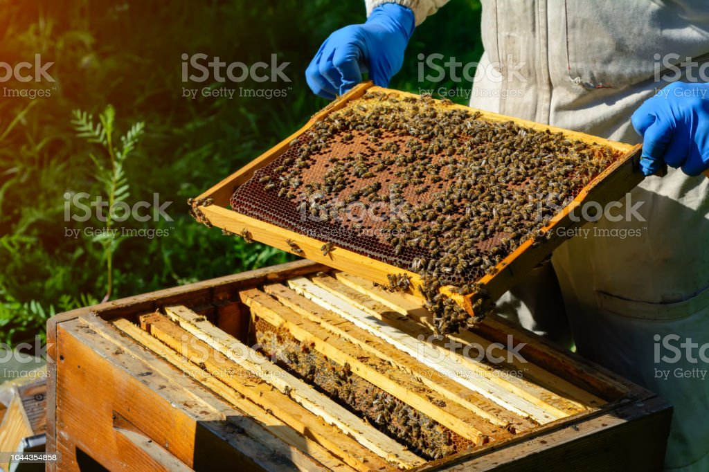 The beekeeper looks over the honeycomb with the bee larvae. Apiculture. Apiary stock photo
