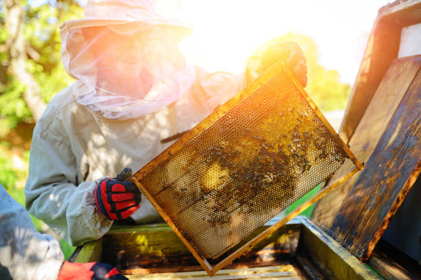 The beekeeper takes the frame with honeycomb from the hive. stock photo