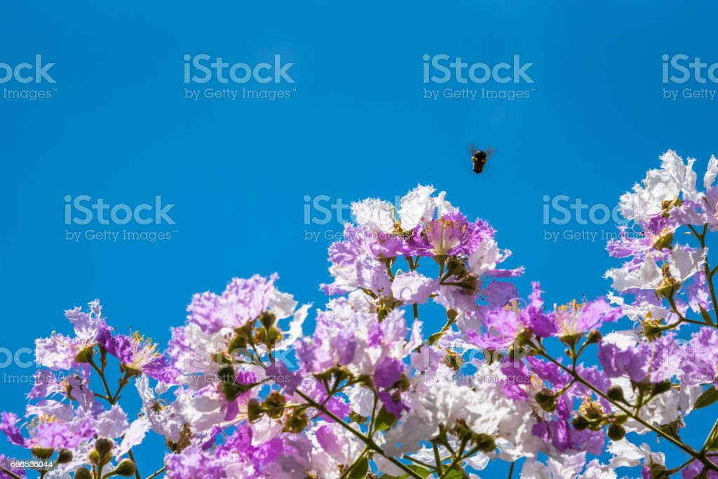 The bees fly around the flower to find nectar Lagerstroemia blooming in nature zbiór zdjęć royalty-free