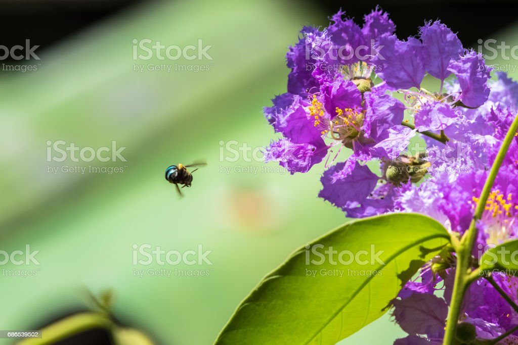 The bees fly around the flower to find nectar Lagerstroemia blooming in nature ロイヤリティフリーストックフォト