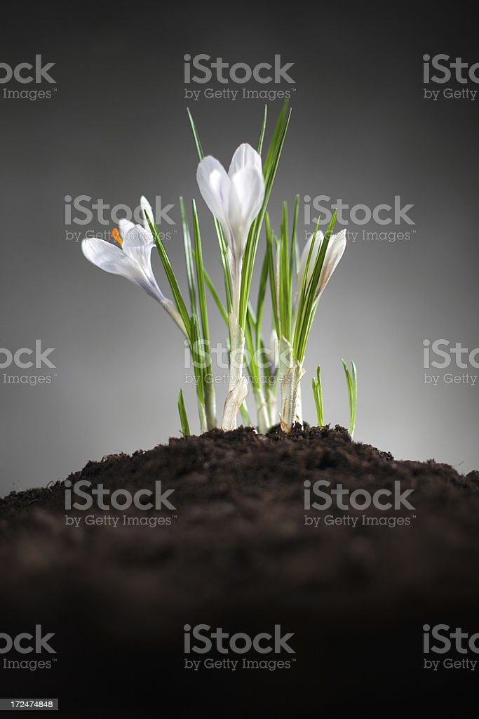 The beginning of spring royalty-free stock photo