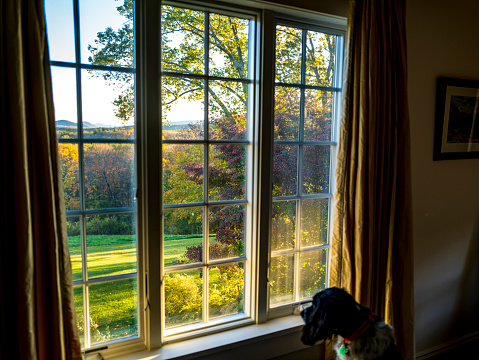 An English Cocker Spaniel peering out of a window at the Berkshire Mountains, MA in the morning.