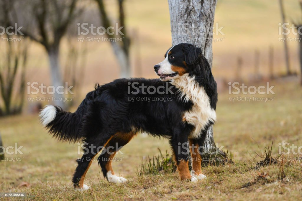 The Bernese Mountain Dog Walking In The Park Stock Photo