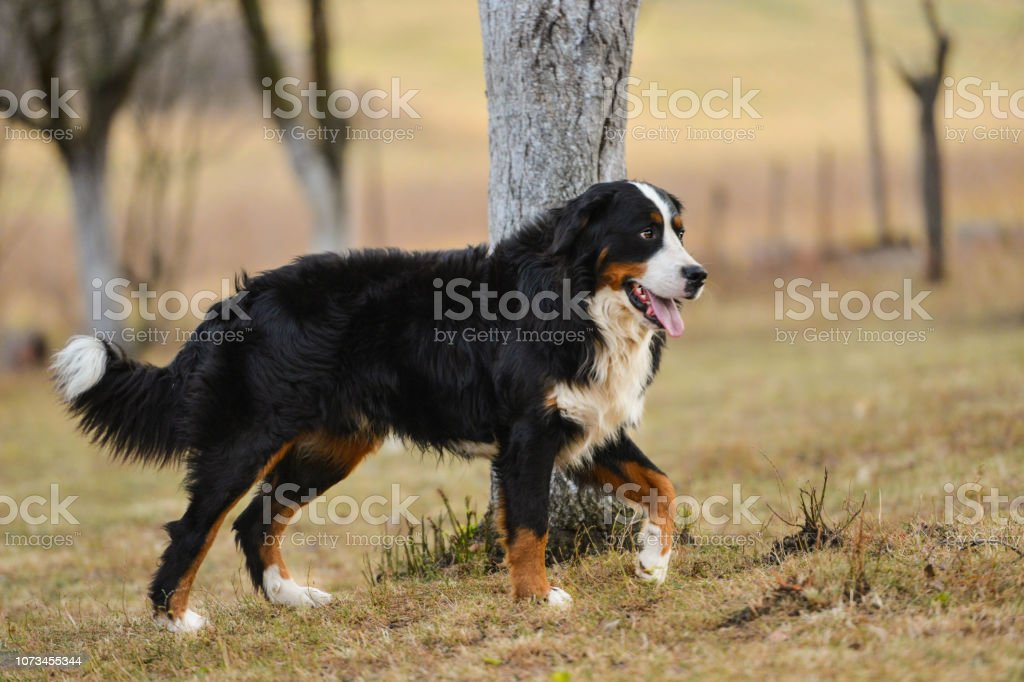 The Bernese Mountain Dog Walking In The Park Stock Photo Download Image Now
