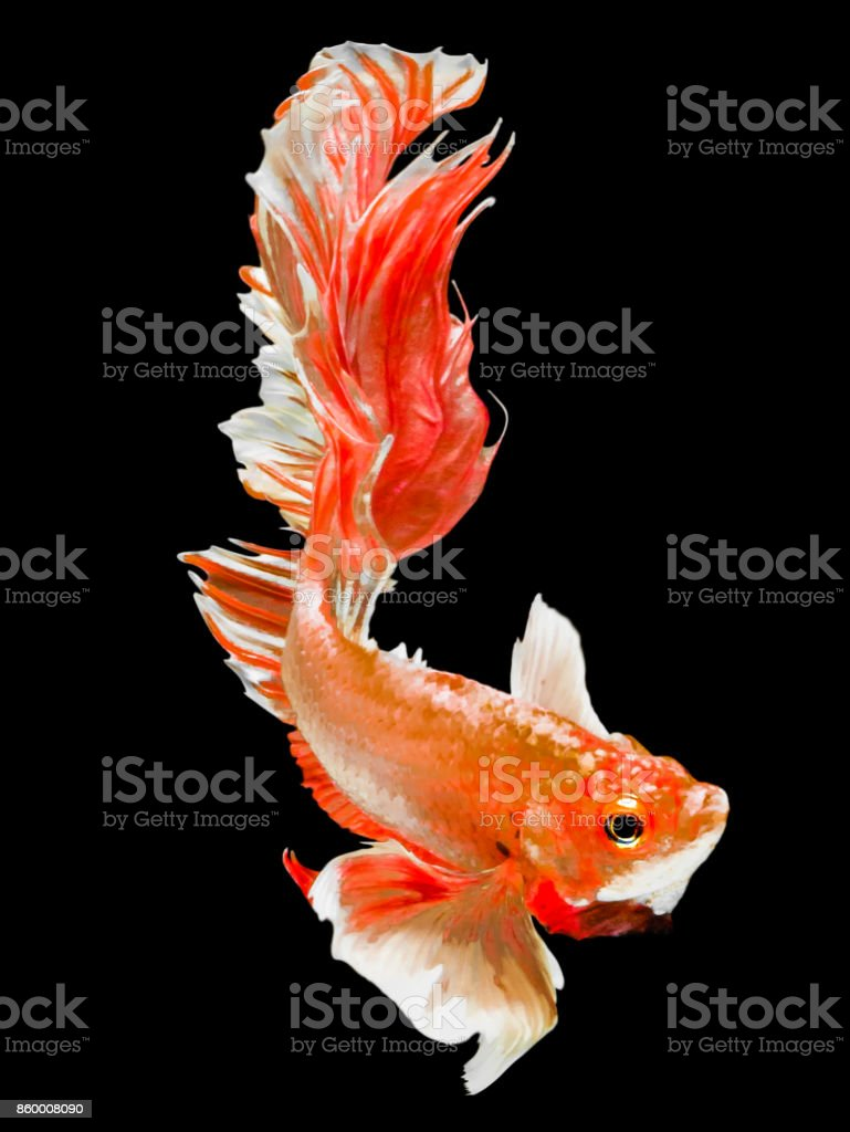 The Betta Siamese Fighting Fish Betta Splendens Plakad Thai Halfmoon ...
