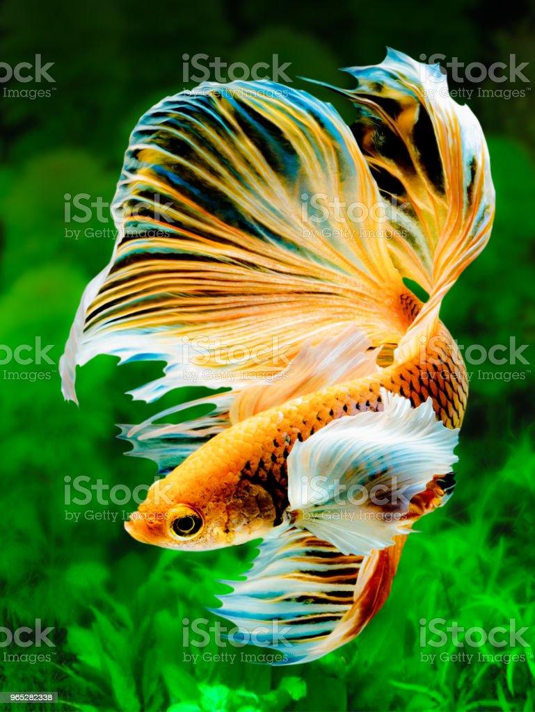 The Betta Siamese fighting fish, Betta splendens Pla-kad ( biting fish ) Thai. (Halfmoon fancy white red betta ) in motion on fresh water weeds background zbiór zdjęć royalty-free