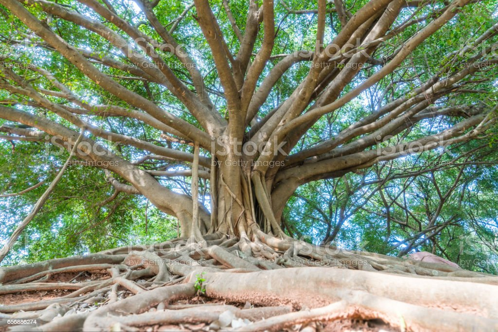 the big banyan stock photo