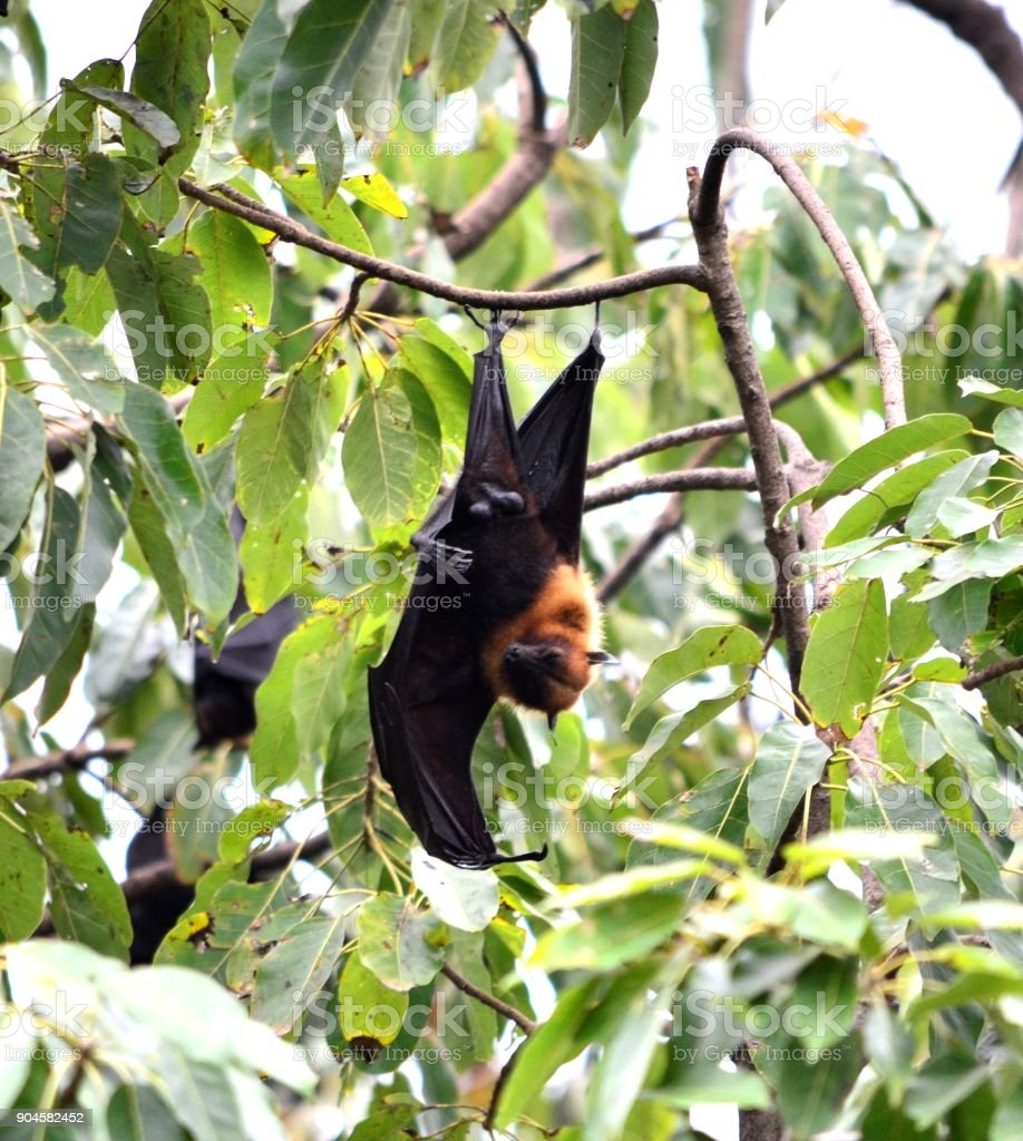 The big bats look like a hen in Thailand. stock photo