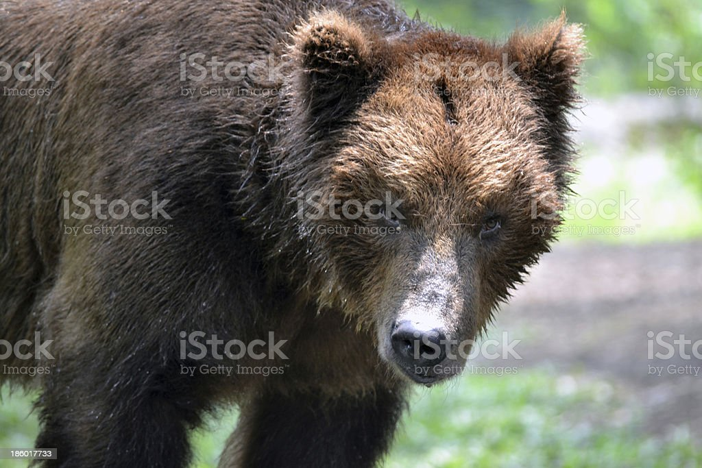 The Big Brown Bear stock photo