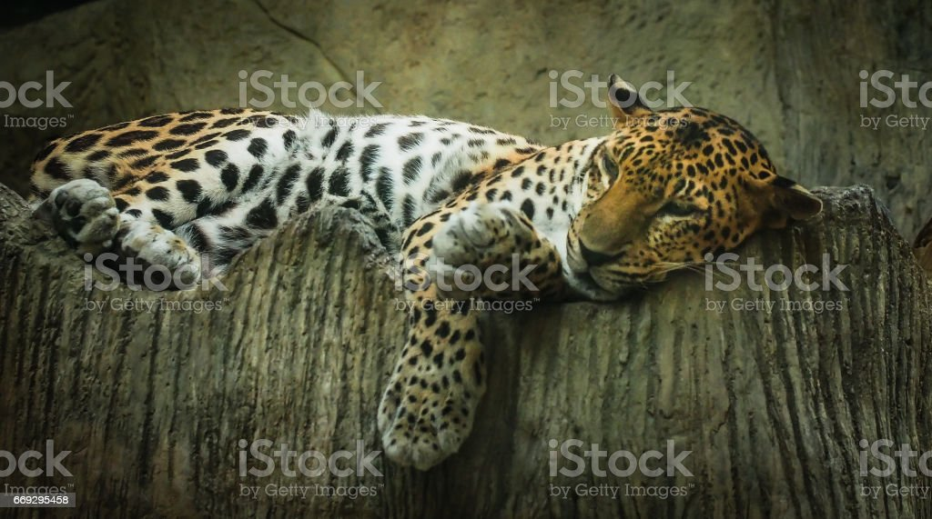 The big cat, tiger, is super lazy laying on the bed stock photo