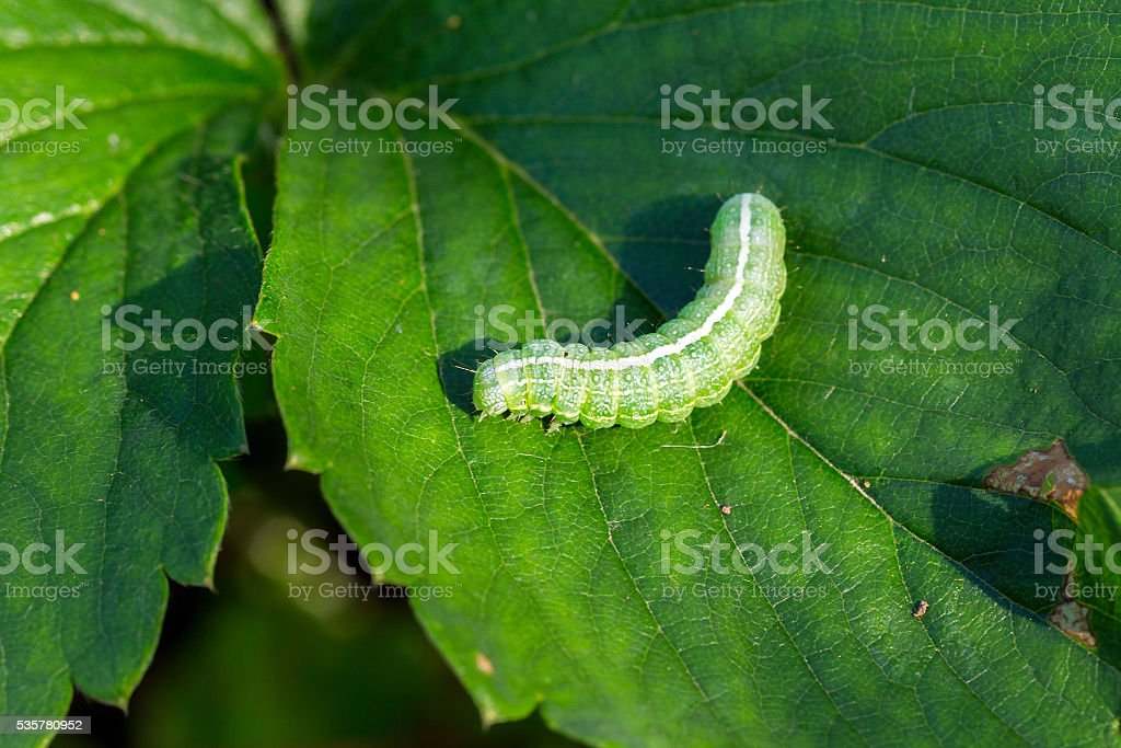 grande verde em uma folha de Lagarta - foto de acervo
