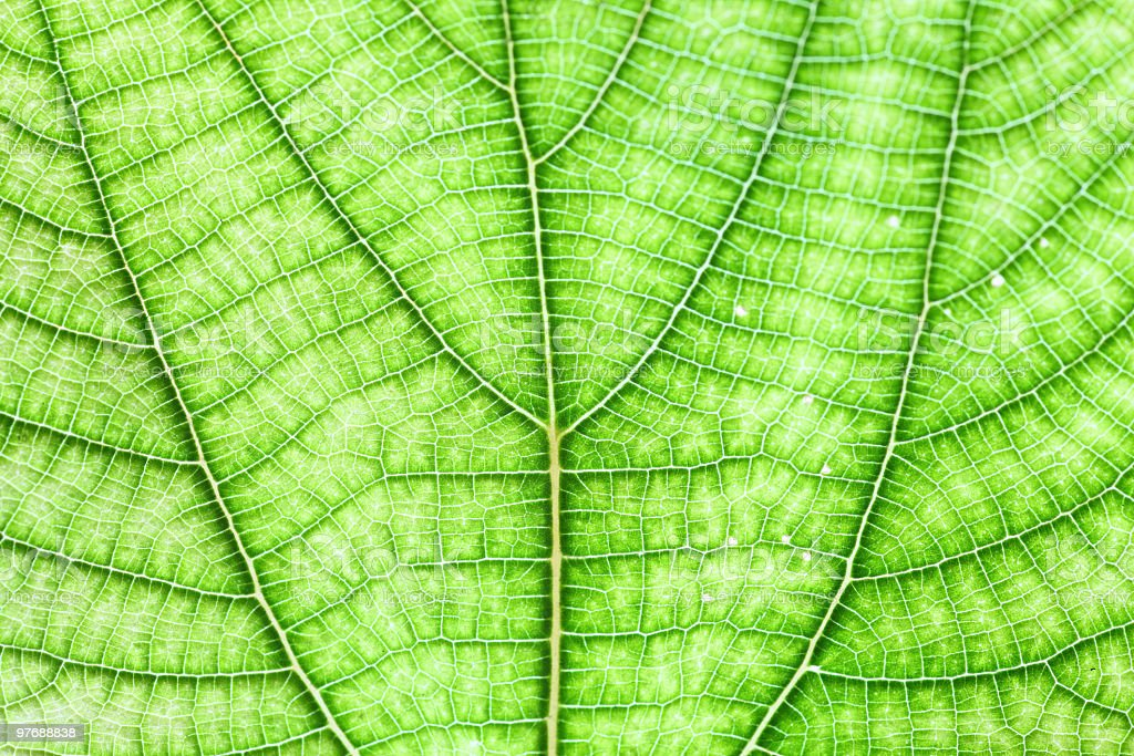 The big green leaf royalty-free stock photo