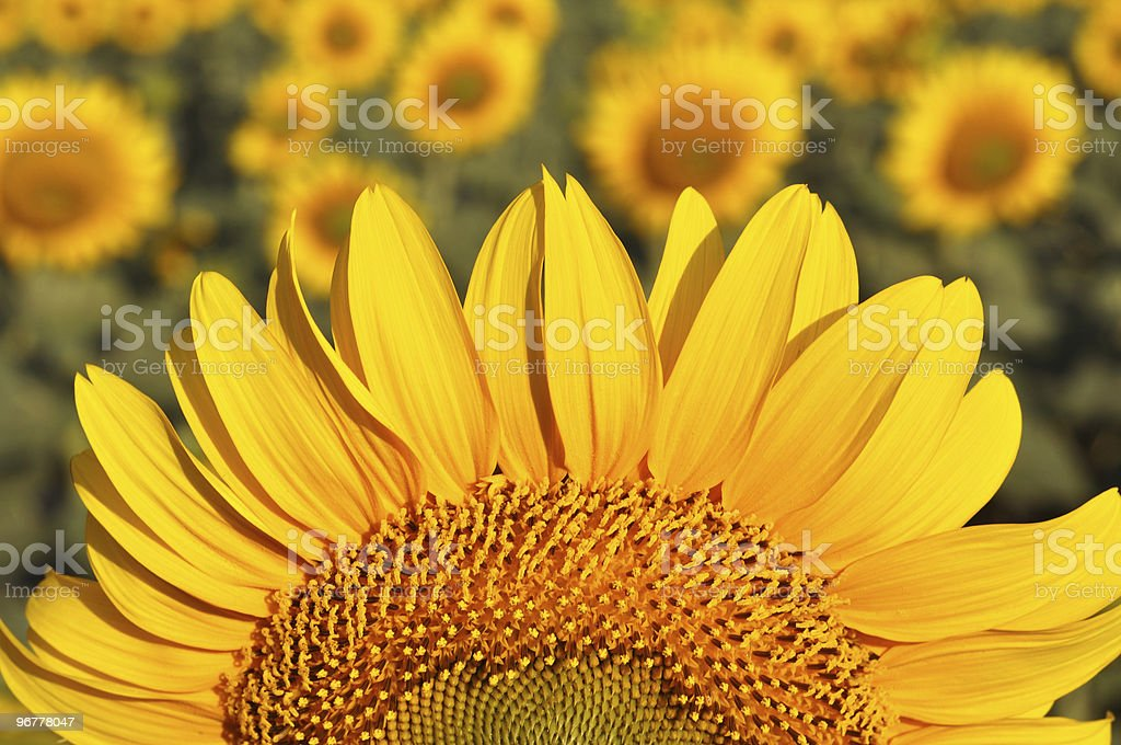 The big magnificent sunflower against a field. royalty-free stock photo