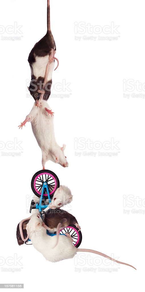 The Big Mouse Bicycle Accident royalty-free stock photo