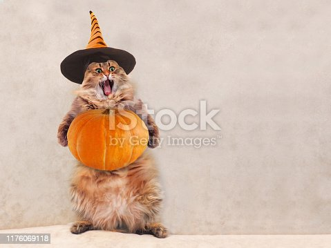 istock The big shaggy cat is very funny standing 1176069118