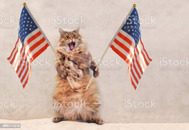 The big shaggy cat is very funny standing picture id696474316?b=1&k=6&m=696474316&s=612x612&h= 1m4vm5hsqklrqvxpugizuiwjxtot9x2duspo gnwiy=