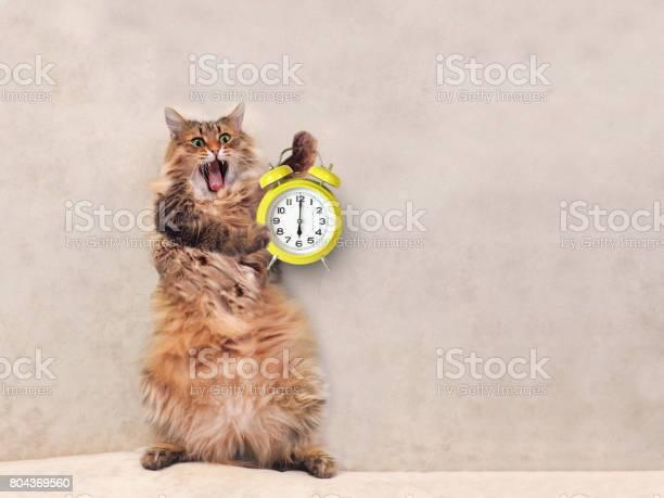 The big shaggy cat is very funny standingclock 1 picture id804369560?b=1&k=6&m=804369560&s=612x612&h=0qpelmkvpqydg2ify4 bzzc6zimtkmt9j59d7fgwjrm=