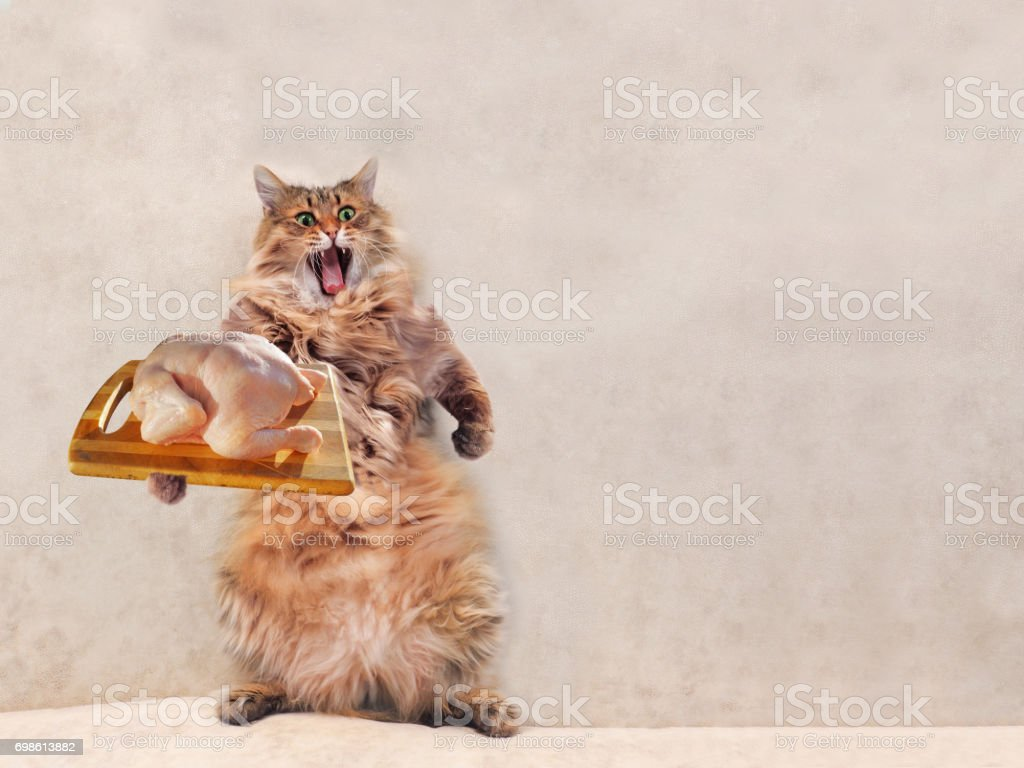 The big shaggy cat is very funny standing,cook 14 stock photo