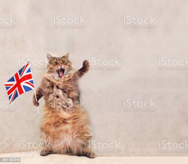 The big shaggy cat is very funny standingflag picture id841192316?b=1&k=6&m=841192316&s=612x612&h=fpsuabntyaux9inac6b6u0q5uph8ihdjhwj0c9nns k=