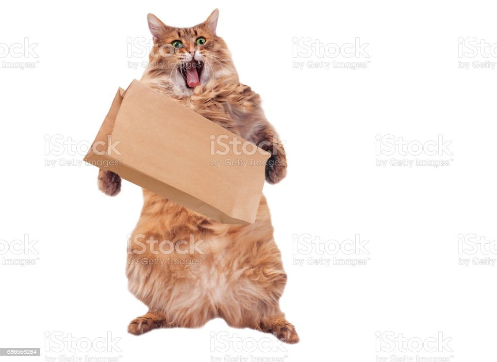 The big shaggy cat is very funny standing.number 5 royalty-free stock photo