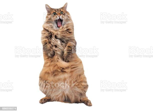The big shaggy cat is very funny standingnumber 8 picture id686556574?b=1&k=6&m=686556574&s=612x612&h=srgmxfe55pz5gacqiiiv6kt d3irzg sotkycfieq9m=