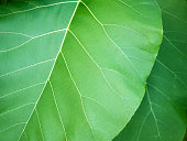 The Big Teak Leaf