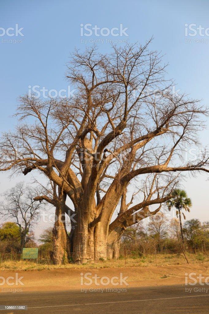The Big Tree at Victoria Falls Zimbabwe baobab Adansonia digitata stock photo