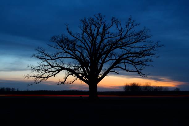 The Big Tree, Columbia Nightfall over an oak tree, called the Big Tree, near Columbia, MO. university of missouri columbia stock pictures, royalty-free photos & images
