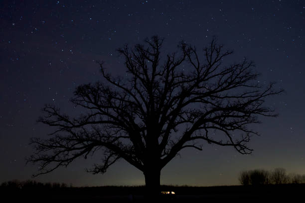 The Big Tree, Columbia The Big Oak Tree at night near Columbia, MO university of missouri columbia stock pictures, royalty-free photos & images