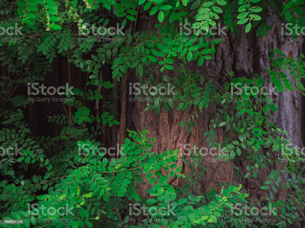 The Big Tree. royaltyfri bildbanksbilder