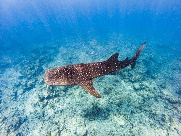 The big Whale shark stock photo