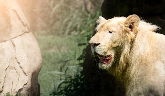 909806032 istock photo The big white gray lion 952793638