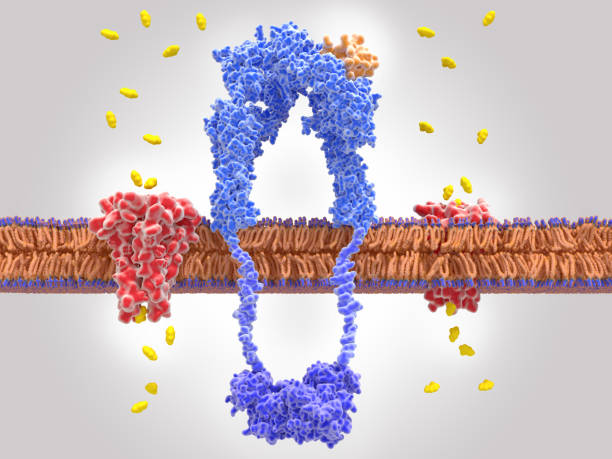 The binding of insulin to the insulin receptor activates glucose uptake into the cell mediated by a glucose transporter protein. The insulin receptor (blue) is a transmembrane protein, that is activated by insulin (orange). Insulin binding induces structural changes within the receptor which activates a signal cascade leading to the transport of glucose into the cell mediated by a glucose transporter protein (red) islet of langerhans stock pictures, royalty-free photos & images