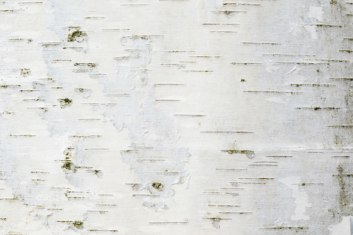 The birch bark texture or background