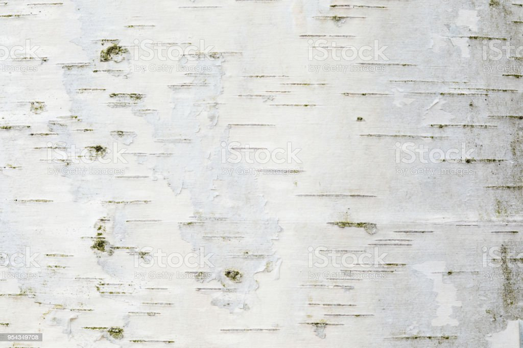 La textura de corteza de abedul o de fondo - foto de stock