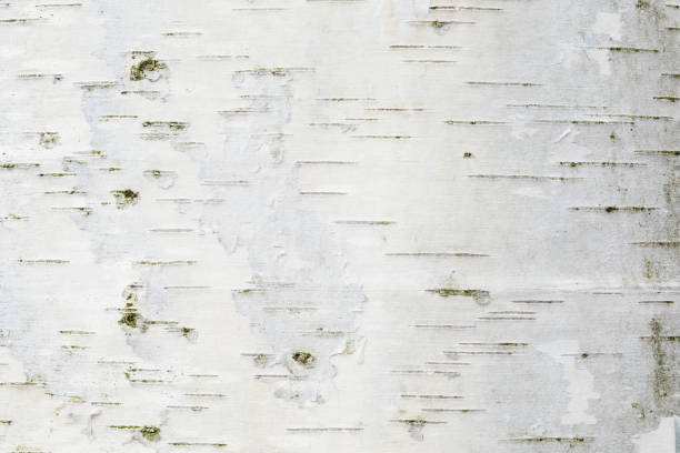 The birch bark texture or background stock photo