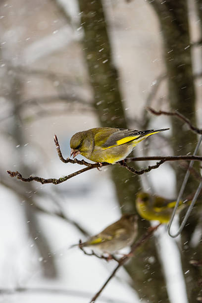 Cтоковое фото The bird a greenfinch  male sits on  mountain ash branch