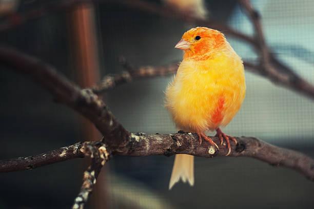 l'oiseau canari dans une cage. - canari photos et images de collection