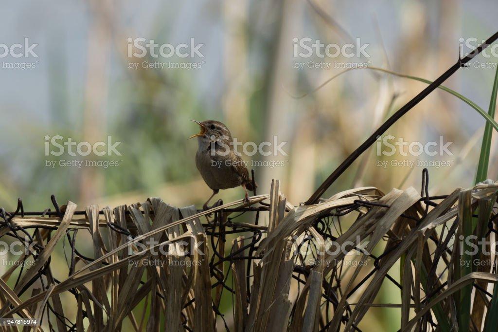 Der Vogel - eurasischen wren - Lizenzfrei Deutschland Stock-Foto