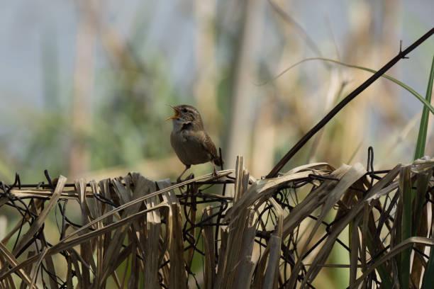 Der Vogel - eurasischen wren – Foto