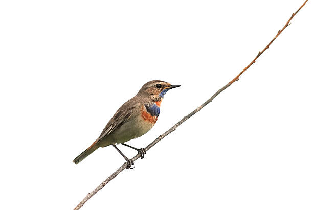 the bird is a male Bluethroat sitting on a branch - Photo