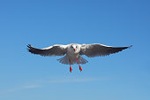 The bird is flying against the blue sky - Black-headed Gull