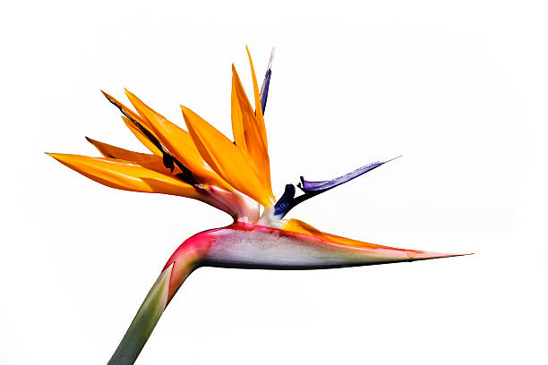 Royalty free bird of paradise flower pictures images and stock the bird of paradise flower on white background stock photo mightylinksfo