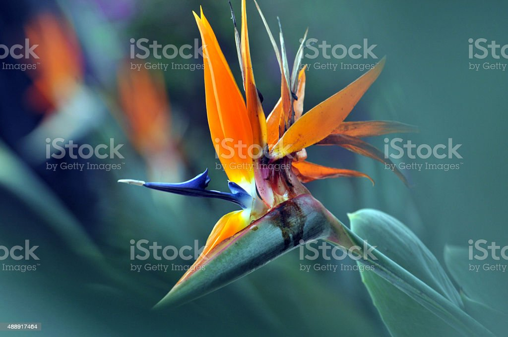 The bird of paradise flower stock photo