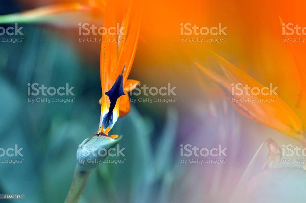 El ave del paraíso flor - foto de stock